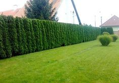 Garten Y ou can buy Thuja Occidentalis Seeds. OTHER:Thuja is a very neat & tidy, tall and thin everg Arborvitae Landscaping, Privacy Landscaping, Garden Landscaping, Thuja Occidentalis, House Landscape, Landscape Design, Garden Design, Cedar Trees, Cypress Trees
