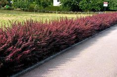 untrimmed barberry for a less fromal look, however, I prefer the boxy look -- more refined/formal looking for the front of your house.....