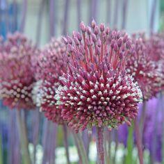 Einige Allium - auch als Zierlauch bekannt - blühen weiß, manche lilia, es gibt gelbe und rosafarbene, viele beeindrucken mit kugelrunden Blütenbällen, andere sind wiederrum kleiner und zeigen flachere Blütendolden ... 'Red Mohican' ist jedoch ganz anders: ihre Blütenkugeln tragen eine interessante Stachelfigur aus weiteren Blüten. Ein absoluter Hingucker im Garten! Allium, Back Gardens, Purple Flowers, Beautiful Flowers, Garlic, Bulb, Cottage, Shape, Google Search
