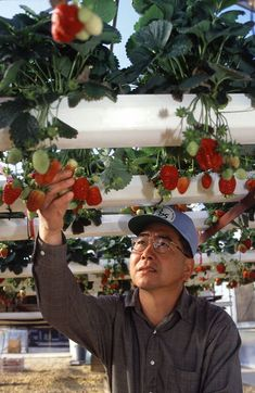 Image detail for -How to Grow and Nurture Hydroponic Strawberries | The Hydroponic Shop #garderninghydroponic #hydroponicgardening