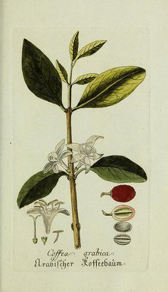 """smithsonianlibraries: """" For coffee day, enjoy some botanical illustrations of Coffea arabica along with your cup o' Joe. Illustrations from: •  Presented with compliments of Chase & Sanborn (1882) • ..."""