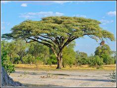 Acacia Tortilis Umbrella Thorn Haak-en-steek Doringboom m Acacia, African Tree, Kenya Nairobi, Photo Tree, Tropical Plants, Beautiful Landscapes, Landscape Paintings, Scenery, Beautiful Pictures