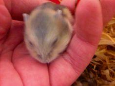 My hamster - winter white dwarf
