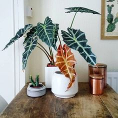 Indoor Bonsai, Indoor Plants, Alocasia Plant, Nerve Plant, Ficus Elastica, Rubber Plant, Crassula Ovata, Variegated Plants, Jade Plants