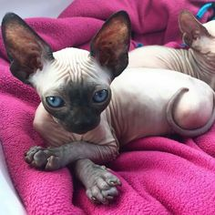 Sonho dos meus sonhos . Cute Cats And Kittens, I Love Cats, Crazy Cats, Cool Cats, Pretty Cats, Beautiful Cats, Animals Beautiful, Cute Hairless Cat, Hairless Animals