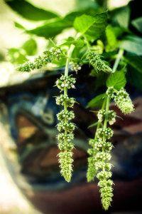 spearmint, a natural rodent repellent