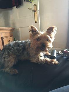 Tootsie Delight 💛 my Yorkshire terrier x