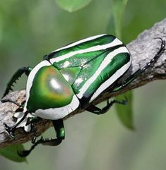 The emerald fruit chafer beetle (Rhabdotis aulica)