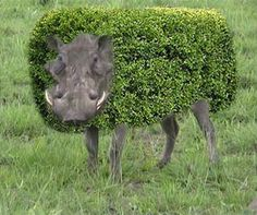 Hedge Hog.