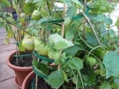 Best Fruits To Grow In Pots – gardening Growing Strawberries In Containers, Growing Tomatoes In Containers, Growing Vegetables, Gooseberry Plant, Cape Gooseberry, Growing Fruit Trees, Fast Growing Trees, Growing Plants, Fruit Garden