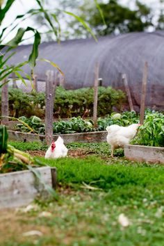 Chickens running around my garden~hope to get some soon!