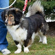 Captain: Bernese Mountain Dog / Basset Hound Mix from Canine Lifeline, Inc in Garfield Heights, OH 44125 Unique Dog Breeds, Rare Dog Breeds, Popular Dog Breeds, Basset Hound Mix, Corgi Mix, Cute Puppies, Cute Dogs, Bernese Mountain Dog Mix, Dog Mixes