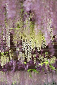 226.  wisteria flowers scenery travel adventure summer fun