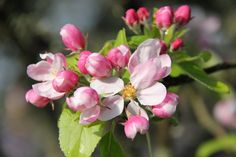 apple blossoms pictures - Google Search