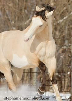 Buttermilk Buckskin Paint