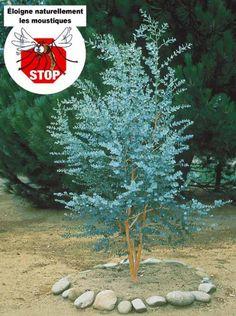 Photo Eucalyptus gunnii ou