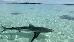 Sharks in the Exumas in the Bahamas :: I swam next to one of these!