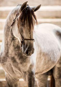 scarlettjane22: Azteca horse Pura Raza Espanola Found on raphaelmacek.com via Camila Ribeiro Jordão •
