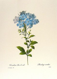 """plumbago - Redouté Art Flowers, Fruits - Pierre-Joseph Redouté (1759 – 1840), was a painter and botanist from the Southern Netherlands, known for his watercolours of roses, lilies and other flowers at Malmaison. He was nicknamed """"the Raphael of flowers"""" and has been called the greatest botanical illustrator of all time."""