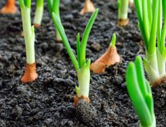 Growing Onions - How To Plant, Maintain and Harvest Onions Planting Onions, Planting Vegetables, Vegetable Garden, How To Plant Onions, Regrow Vegetables, Growing Vegetables, Veggies, Multiplication Végétative, Herb Garden