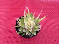 Succulent Plant. Variegated Zebra Plant by SucculentBeauties