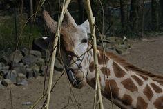 verstopt #Giraffe