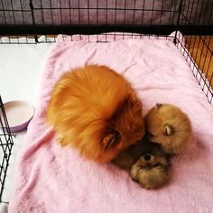 Pomeranian puppies playing with their mum😍😍😍  Posted by : @friendlypomeranian  Follow me to see more nice picture 😜  Thank you so much ☝️👌☝️👌 Tag someone who you'd want to share this photo with Beautiful 💜💌😚  All about Pomeranian Dogs for dog lovers.  @friendlypomeranian  👥 ⤵ Double tap & tag your friend Love it 😉  ❤❤❤  ❤❤❤  ❤❤❤  #Pom #baby #pomeranianspitz #pomstagram #pomeranianlife #pomeranianlovers #puppy #puppylove #puppydog #dogs #dog #dogdaily #puppyplaytime #pomeranianlove…