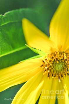 A Cheery Yellow Daisy by David Perry Lawrence
