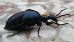 11 Best Insects images in 2016   Bugs, Insects, Beetle