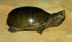 Common Musk Turtle - photos of turtles - Bing Images