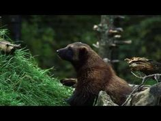 The Wolverine is the Focus of the Latest HWW PSA - http://www.environment.co.za/wildlife-endangered-species/the-wolverine-is-the-focus-of-the-latest-hww-psa.html