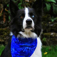 Skye Blue modelling the beautiful 'Blue Walkies Dude' bandana by Dudiedog Bandanas