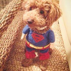 メイたんの『あの頃…シリーズ』② 飛べなかったので…すぐにクビになりました😱  #雇われスーパーマン #superman #お給料 #歩合制 #トイプードル #toypoodle #といぷーどる #トイプー #トイプードル大好き #愛犬 #長生きしてね #お散歩 #ふわもこ部  #ワンワン #トイプードルアプリコット #わんこ #ワンコなしでは生きて行けません会 #犬バカ部 #トイプードル部 #トイプードル男の子 #宝物 #溺愛中 #ドッグラン #犬 #甘えん坊 #dog #cute #charming  #instadog #inustagram
