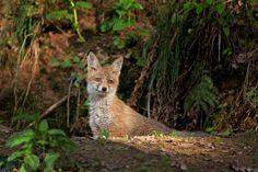 red fox, vulpes vulpes, liška obecná