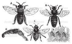 gravure d'abeille - Recherche Google