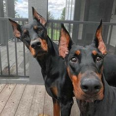 The Doberman Pinscher is among the most popular breed of dogs in the world. Known for its intelligence and loyalty, the Pinscher is both a police- favorite I Love Dogs, Cute Dogs, Animals And Pets, Cute Animals, Doberman Love, Blue Doberman, Doberman Pinscher Dog, Beautiful Dogs, Dog Life