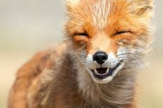 The Laughing Fox | Cutest Paw