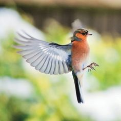 Winner of the Under-12 Category: Male Chaffinch Coming into Land