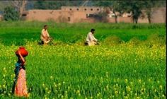 Girl with pitcher & two cyclists in Mustard fields.