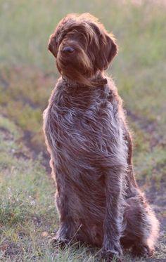 Mack Wirehaired Pointing Griffon, Griffon Dog, German Wirehaired Pointer, Grouse Hunting, Hunting Dogs, Amazing Pics, Dog Portraits, Cocker Spaniel, Four Legged