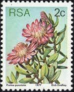 Water sugarbush (Protea punctata)