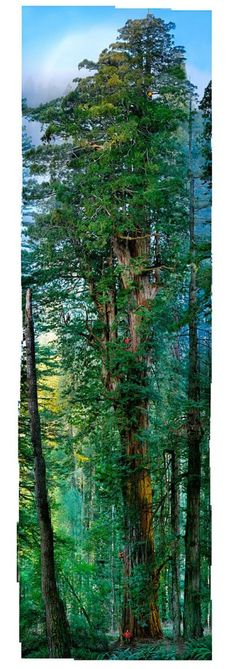 redwood forests of Malaga