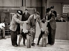Dog World, Feb 16, 1951, from Macdonald Daly's TV coverage of Crufts - he is demonstrating the difference between a good Airedale and an also-ran. Left is the BOB, Tommy Brampton with his famous bitch Ch Weycroft Wonderous. The not so good one is handled by Albert Kellett.