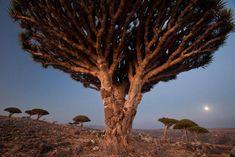 Il existe une mystérieuse île au large du Yémen isolée depuis des millions d'années et dont une grande partie de ses paysages est introuvable ailleurs sur la surface de la Terre. Des arbres et plantes à l'aspect bizarre et jamais vu... DGS vous propose d'e...