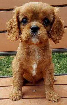 AKC Champion Pedigree Cavalier King Charles Spaniel puppies for sale from Happy Cavaliers in Bend, Oregon.