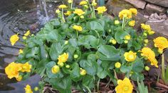 Caltha Palustris 'Flore Pleno' grows by the creek in New York State