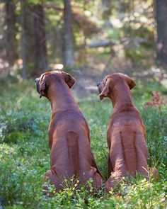 Hopefully I'll be able to have two ridgebacks permanently some day in the future