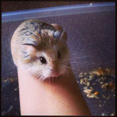 How to Care for Roborovski Dwarf Hamsters