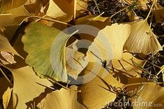 Photo about Autumn colors - leaves of Ginkgo biloba, ginkgo, maidenhair tree. Image of medicinal, pharmacy, healing - 130117829