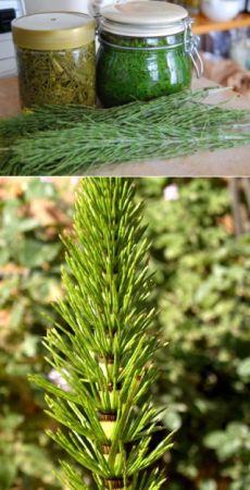 Coada calului, o planta straveche cu proprietati miraculoase pentru sanatate